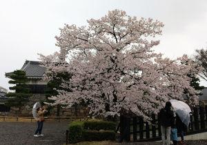 松本城の桜